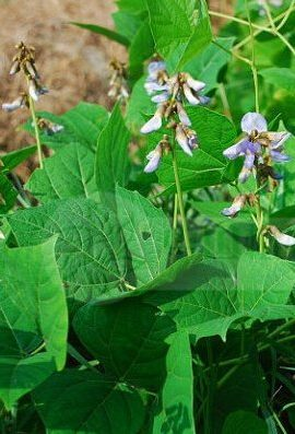 10pcs-Yam-Bean-Seeds-Very-Sweet-Fruit-And-Vegetable-Plants-Chinese-vegetable-seed-Sweet-Potato-0-2