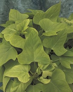 Romence-Gardens-Ipomoea-batatas-Margarita-Sweet-Potato-Vine-0