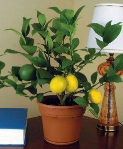 50-Seeds-Dwarf-Meyer-Lemon-Tree-indooroutdoor-0-0