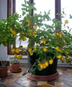 50-Seeds-Dwarf-Meyer-Lemon-Tree-indooroutdoor-0-1