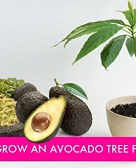 Avocado-Tree-Seedpit-Also-Known-As-Pear-Butter-Fruit-Butter-Pear-0-0