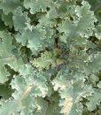 Collard-Greens-Georgia-Southern-1000-Seeds3-Grams-By-Earthcare-Seeds-0-2