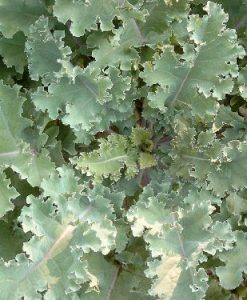 Collard-Greens-Georgia-Southern-1000-Seeds3-Grams-By-Earthcare-Seeds-0-2