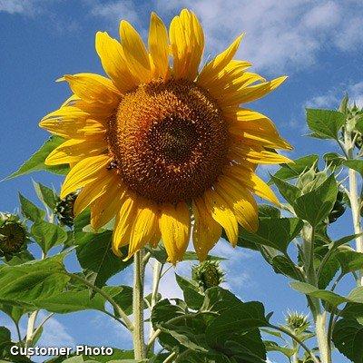 Davids-Garden-Seeds-Sunflower-Mammoth-Grey-Stripe-Tall-Single-DHGSGA-Yellow-50-Open-Pollinated-Seeds-0