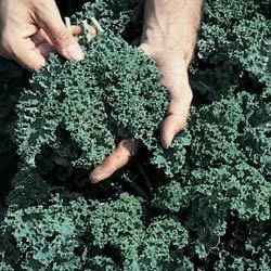 Kale-Vates-Blue-Curled-Great-Heirloom-Vegetable-Seeds-0