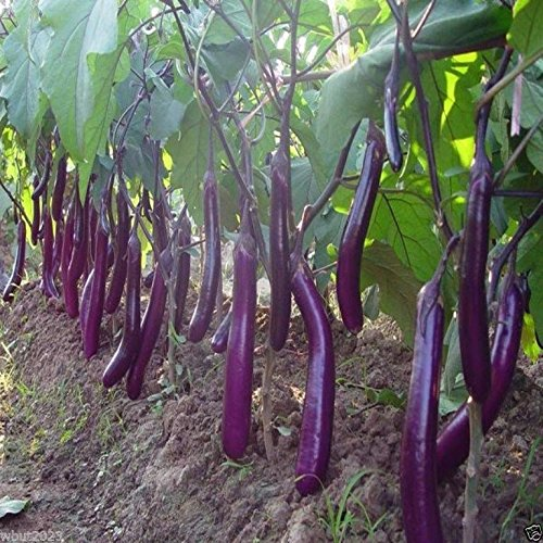 Eggplant, Organic, Purple Long Eggplant, Italian Heirloom
